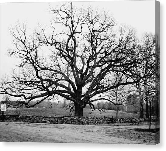 A Bare Oak Tree Canvas Print