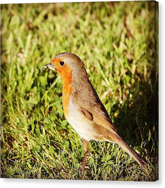 Robins Canvas Print - A Beak Full Of Bugs #robin #hefe by Unique Louise