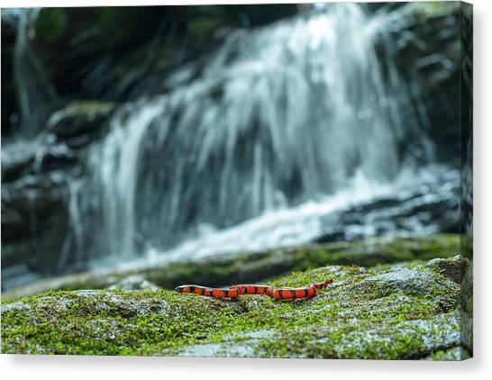 Coral Snakes Canvas Print - A Bibrons Coral Snake, Calliophis by Prasenjeet Yadav