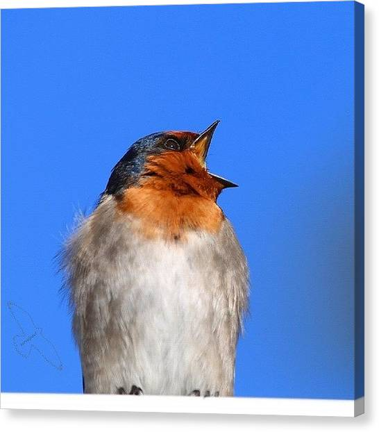 Swallows Canvas Print - Welcome Swallow by Paul Rushworth