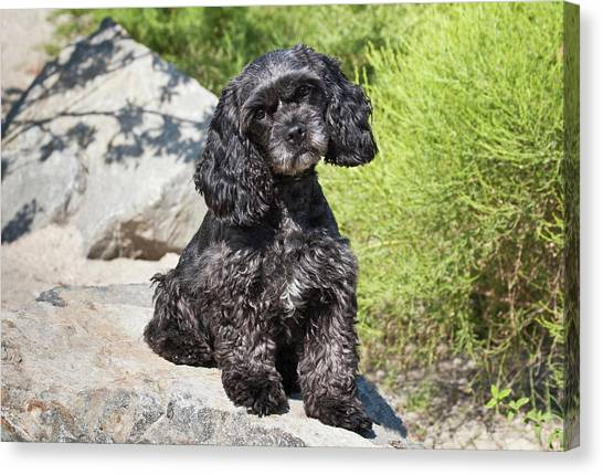 a black cockapoo dog sitting on some photograph by zandria muench