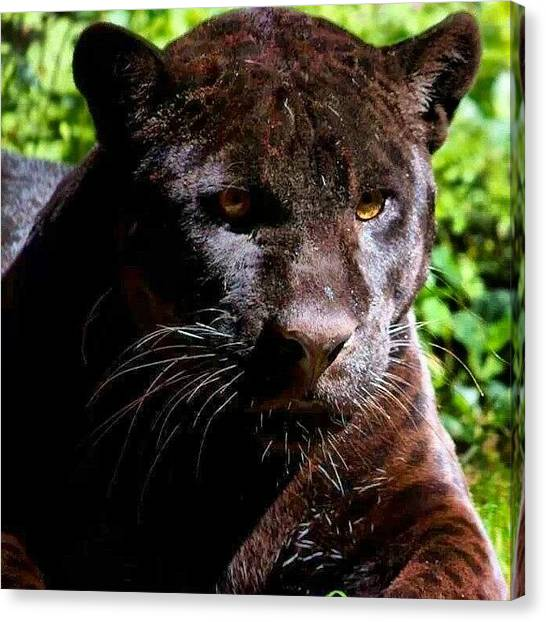 Panthers Canvas Print - A Black Panther And U Can See The Spots by Brandon Fisher
