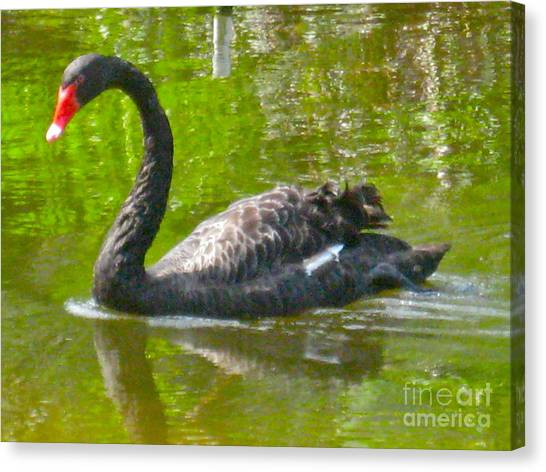 A Black Swan Swimming Canvas Print