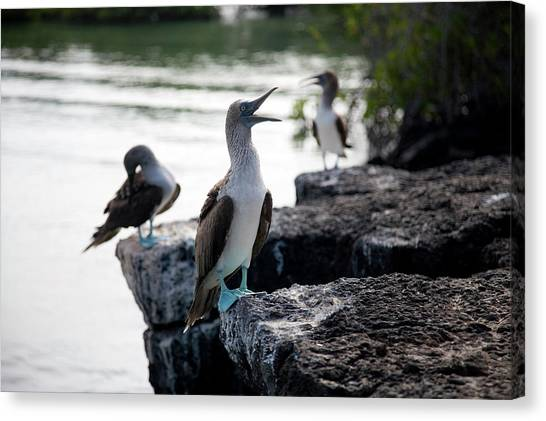 Boobies Canvas Print - A Blue Footed Boobie Sula Nebouxii by Eric Rorer