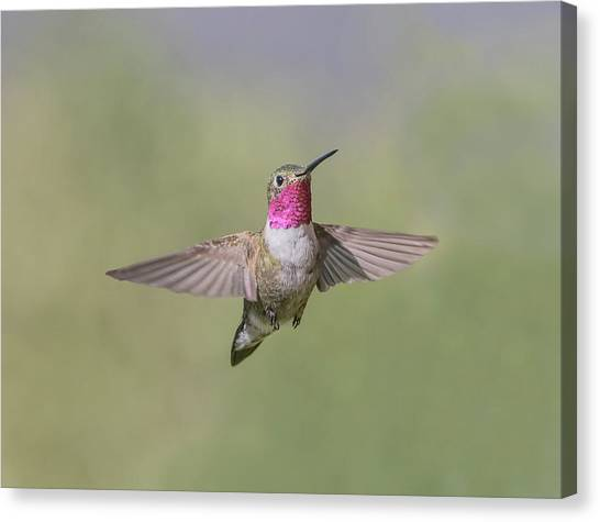 Selasphorus Canvas Print - A Broad-tailed Hummingbird Hovers by Richard Seeley