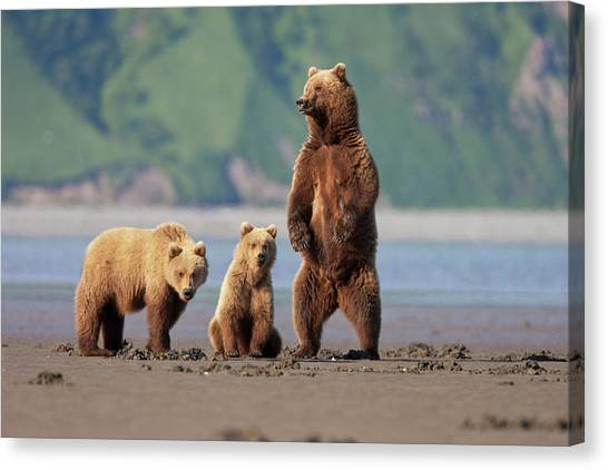 Brown Bears Canvas Print - A Brown Bear Mother And Cubs Walks by Hugh Rose