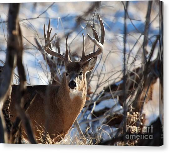A Buck In The Bush Canvas Print