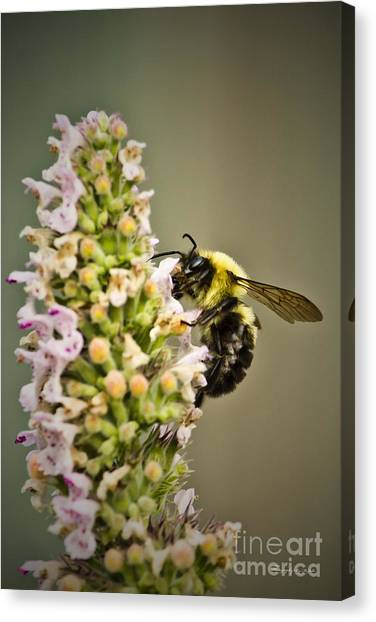 A Bumble Bee Working Canvas Print