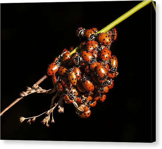 A Bunch Of Ladybugs Canvas Print