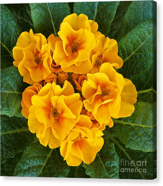 A Bunch Of Yellow Flowers Canvas Print by Kenny Bosak