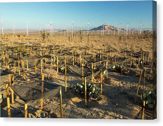 Clean Energy Canvas Print - A Cactus Regeneration Area by Ashley Cooper