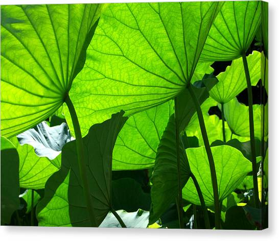 A Canopy Of Lotus Leaves Canvas Print