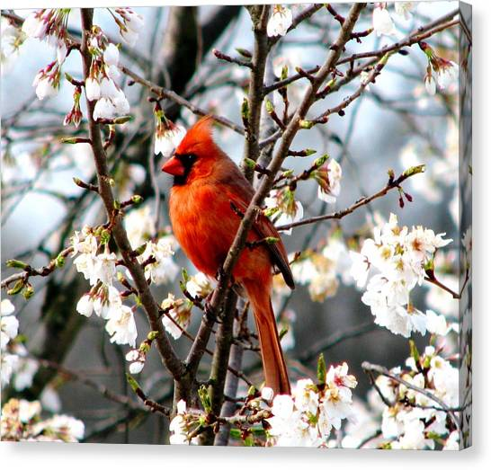 A Cardinal In The Apple Blossoms Canvas Print