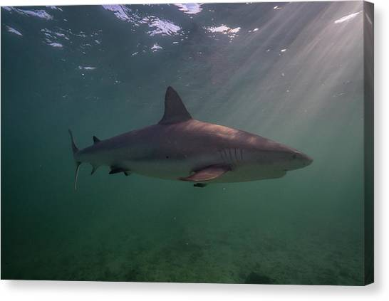 Canvas Print - A Carribbean Reef Shark Swims by Andy Mann
