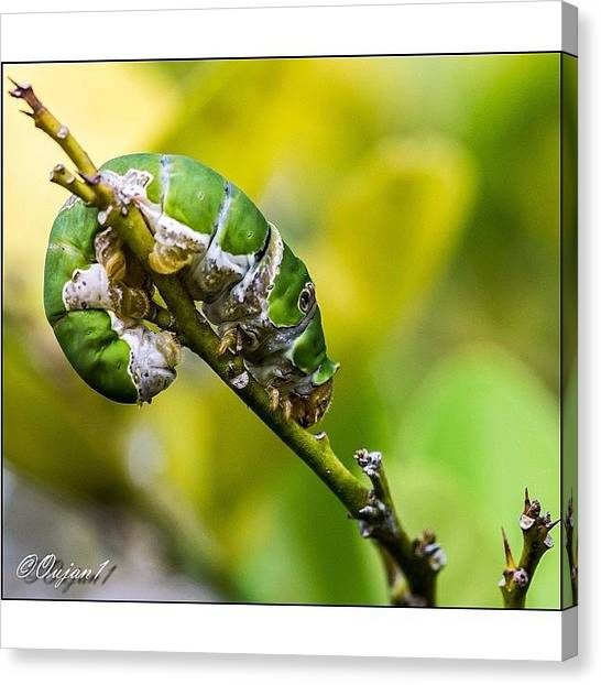 Ladybugs Canvas Print - A Caterpillar Making Its Way Back After by Ahmed Oujan
