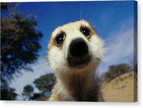Republic Of South Africa Canvas Print - A Close View Of A Meerkats Face by Mattias Klum