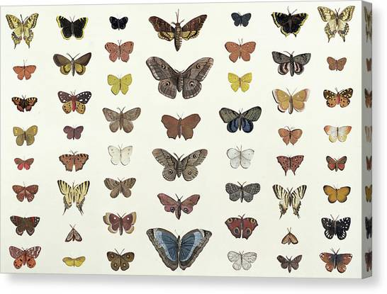 Minimal Canvas Print - A Collage Of Butterflies And Moths by French School
