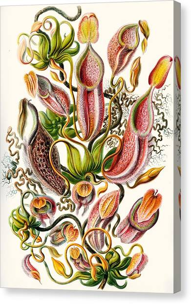 Academic Art Canvas Print - A Collection Of Nepenthaceae by Ernst Haeckel