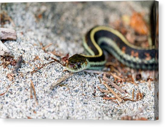 Venemous Snakes Canvas Print - A Common Garter Snake by Michael Russell