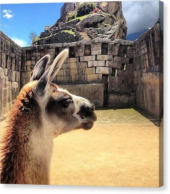 Llamas Canvas Print - A Contemplative Llama...#peru by Blogatrixx