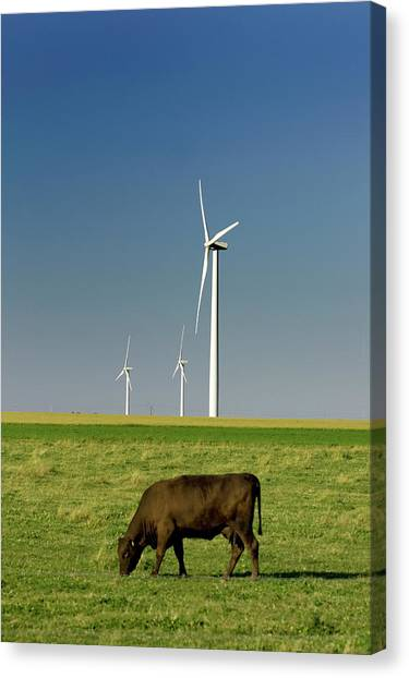 Coexist Canvas Print - A Cow Grazing Near Electricity by Paul Giamou