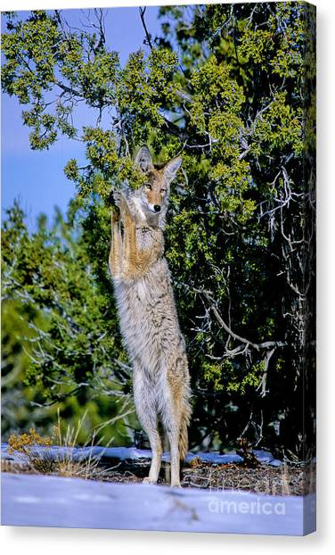 A Coyote Stands To Eat Canvas Print