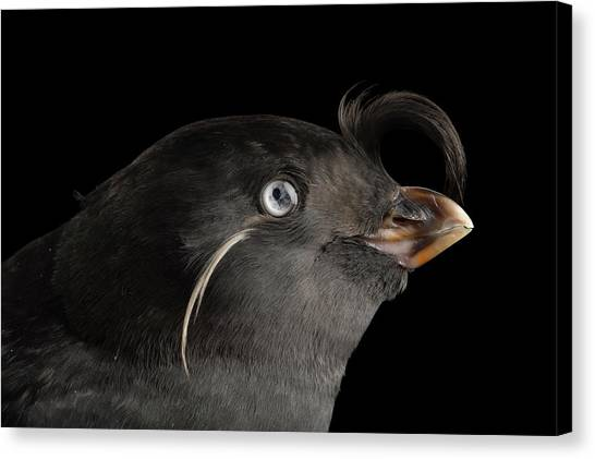 Auklets Canvas Print - A Crested Auklet, Aethia Cristatella by Joel Sartore