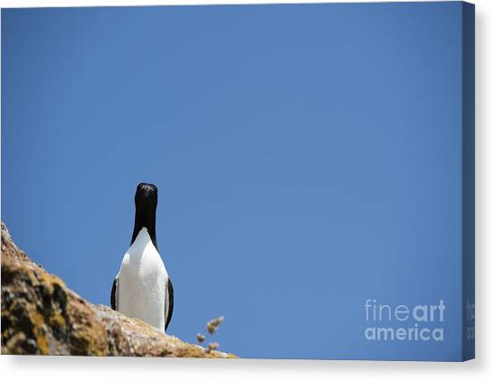 Razorbills Canvas Print - A Curious Bird by Anne Gilbert