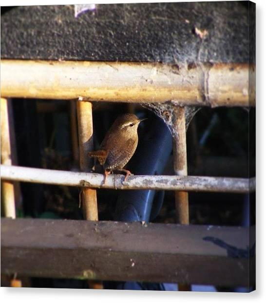Wrens Canvas Print - A Cute Little #wren #troglodytidae by Miss Wilkinson