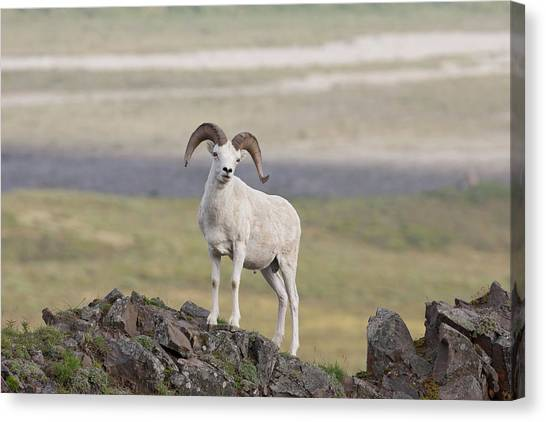 A Dall Sheep Ram Poses On Marmot Rock Canvas Print by Hugh Rose