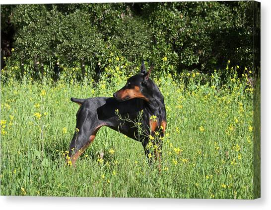 Doberman Pinschers Canvas Print - A Doberman Pinscher Looking by Zandria Muench Beraldo
