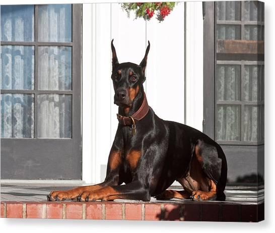 Doberman Pinschers Canvas Print - A Doberman Pinscher Lying On A Red by Zandria Muench Beraldo