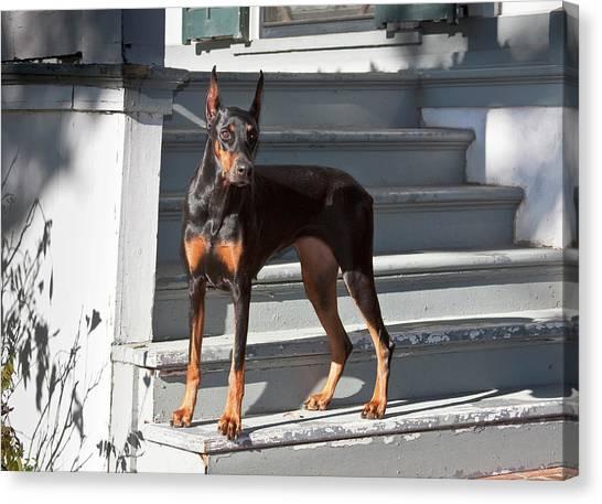 Doberman Pinschers Canvas Print - A Doberman Pinscher Standing On Stairs by Zandria Muench Beraldo