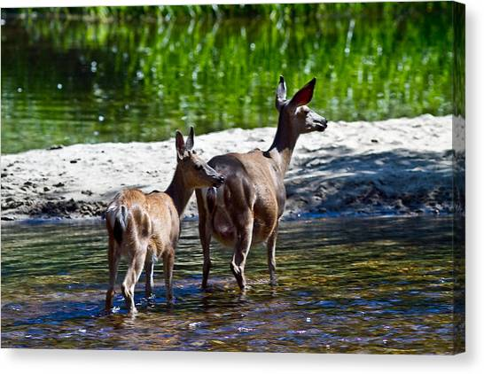 A Doe And Fawn Canvas Print