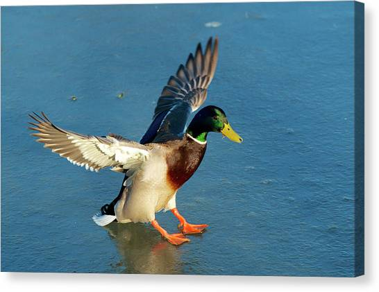 A Drake Lands On An Icy Pond Canvas Print by Richard Wright