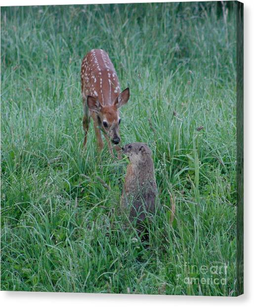 A Fawn And A Woodchuck Canvas Print