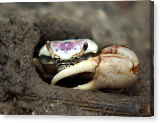 A Fiddler Crab Around Hilton Head Island Canvas Print