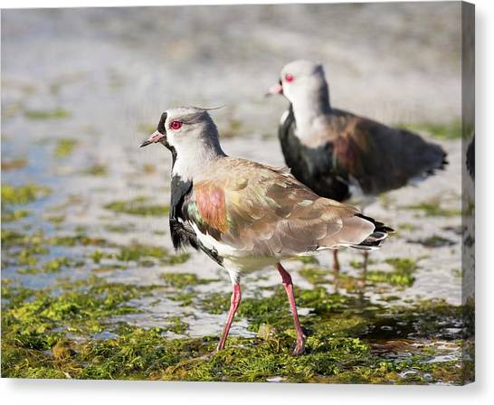Lapwing Canvas Print - A Flock Of Southern Lapwings by Ashley Cooper