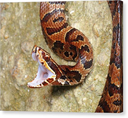 Cottonmouths Canvas Print - A Florida Cottonmouth, Water Moccasin by George Grall