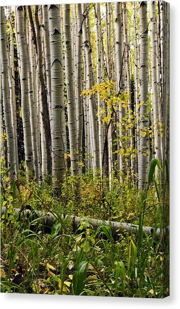 A Forest Of Aspen Canvas Print