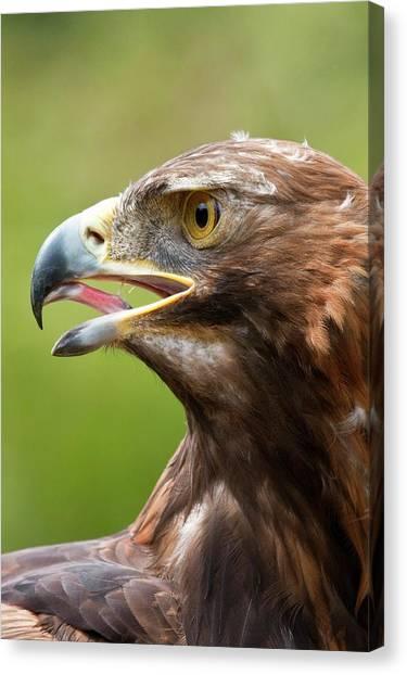 Golden Eagle Canvas Print - A Golden Eagle by Steve Allen/science Photo Library