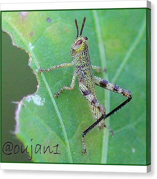 Ladybugs Canvas Print - A Grasshopper Feeding On A Tree In My by Ahmed Oujan