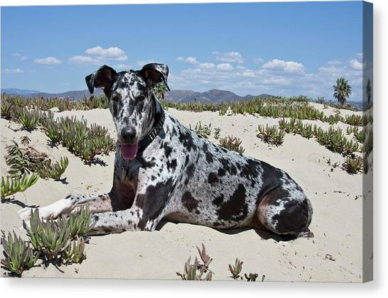 Mastiffs Canvas Print - A Great Dane Lying In The Sand by Zandria Muench Beraldo