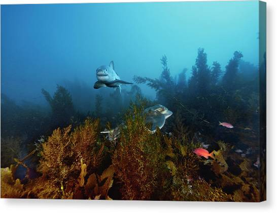 Kelp Forest Canvas Print - A Great White Shark Swims Past A Ray by Brian Skerry