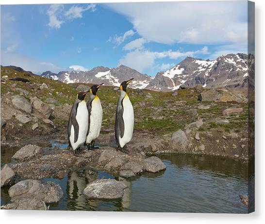 Antarctica Canvas Print - A Group Of Penguins Standing Together by Hugh Rose
