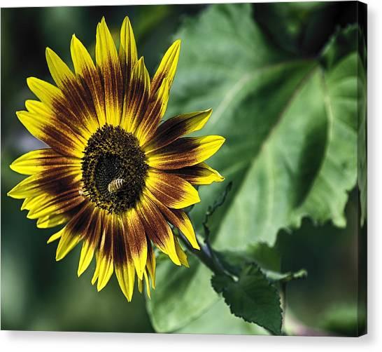 A Growing Sunflower Canvas Print
