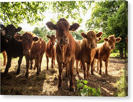 A Herd Of Cows Staring At The Camera Canvas Print