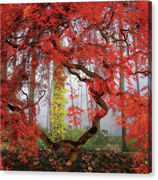 Japanese Gardens Canvas Print - A Japanese Maple Tree by Richard Felber