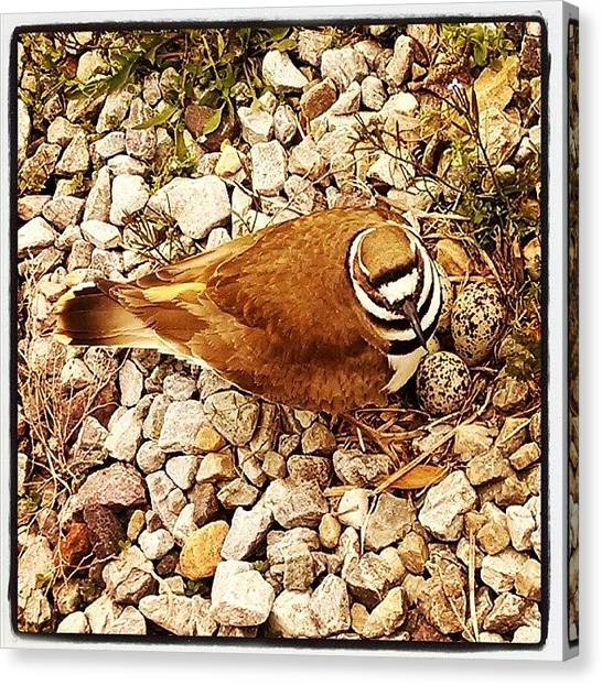 Killdeer Canvas Print - A Killdeer Guarding Her Nest by Angie Jones