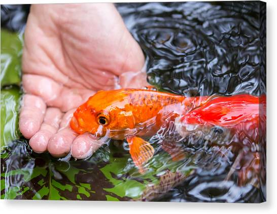 A Koi In The Hand Canvas Print